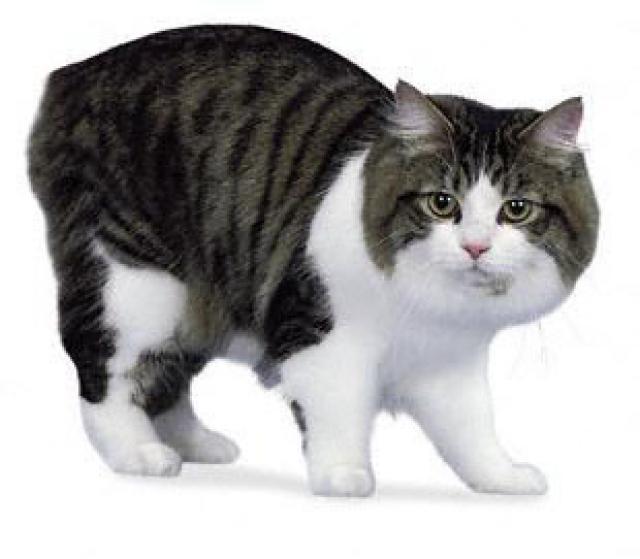 Gato-Cymric