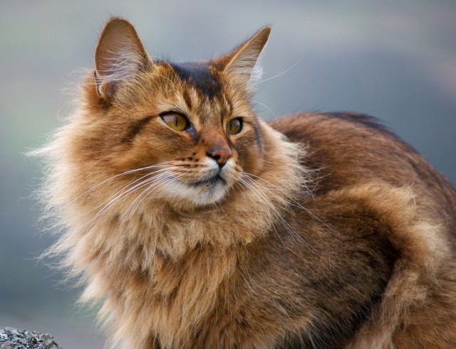 orange-somali-cat-face-picture