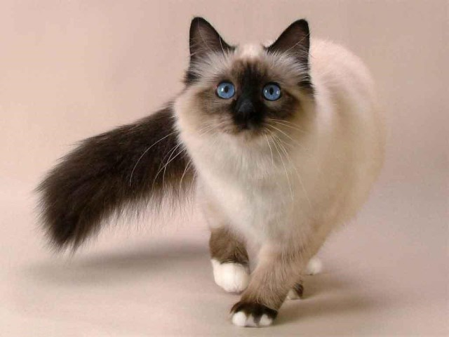 funny-siamese-cat-breeds-pictures