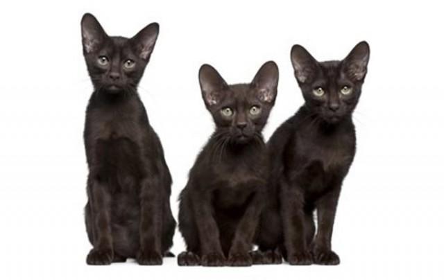 havana-brown-cat-pictures