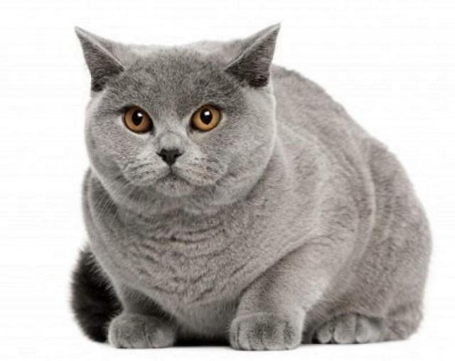 gato_british