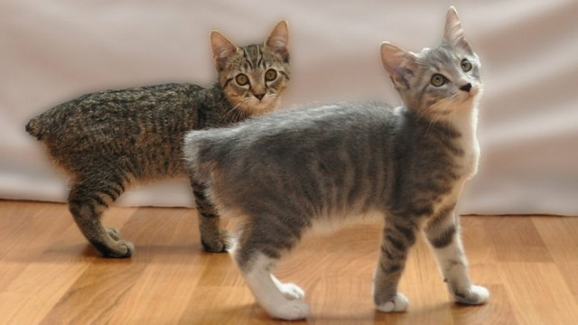 manx-kittens-for-sale