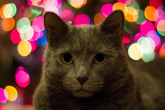 cat-animal-canon-christma-77455